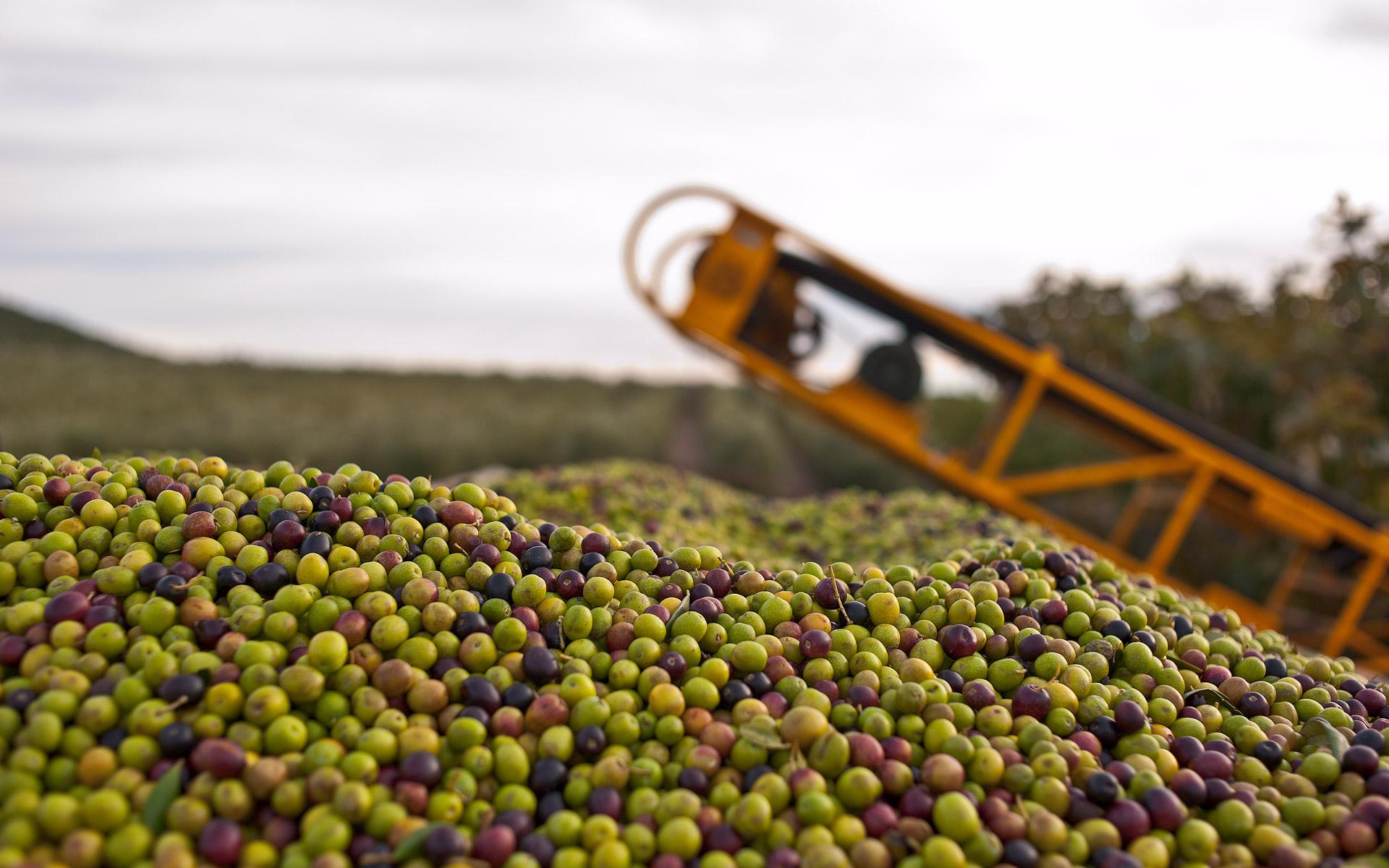 Arbequina, la preciada variedad del olivo.